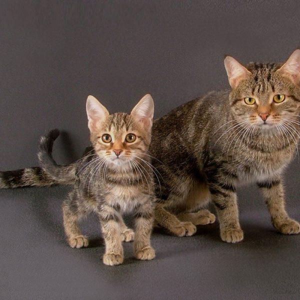 европейские короткошёрстные: кошка и котёнок