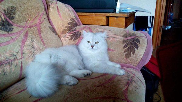 Флегматичный британский длинношёрстный кот на диване