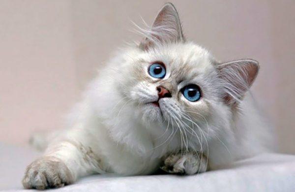 Голубоглазая длинношёрстная британская кошка