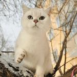 Гуляющий кот шиншилла
