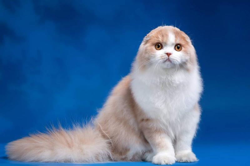 Хайленд-фолд: вислоухая полудлинношёрстная кошка
