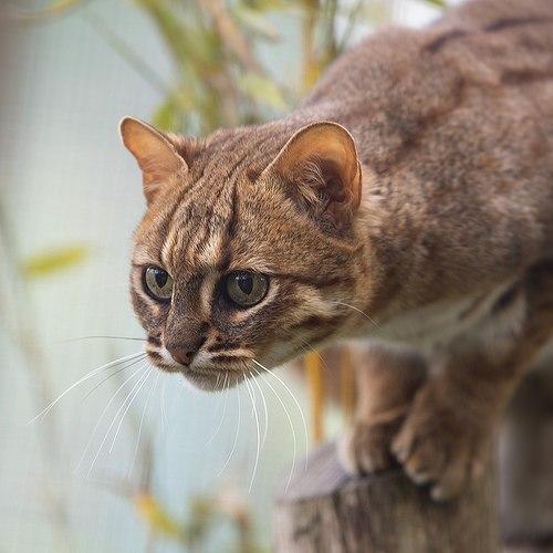 Индийская ржавая кошка