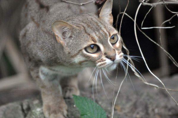 Исчезающая ржавая кошка