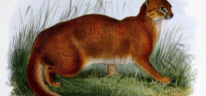 Калимантанская дикая кошка