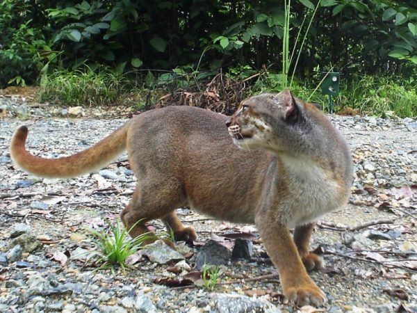 Калимантанская кошка оглядывается