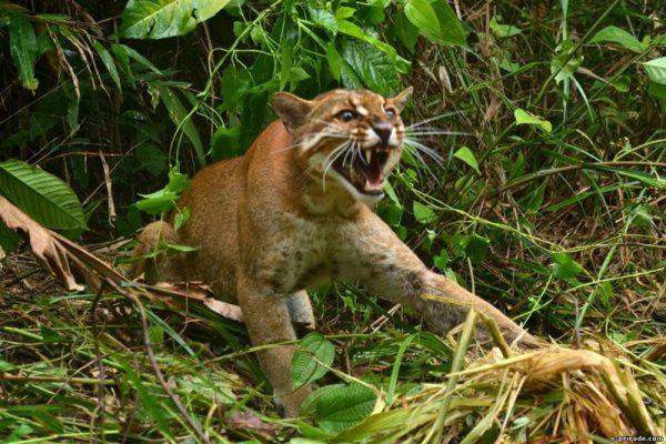 Калимантанская кошка рычит