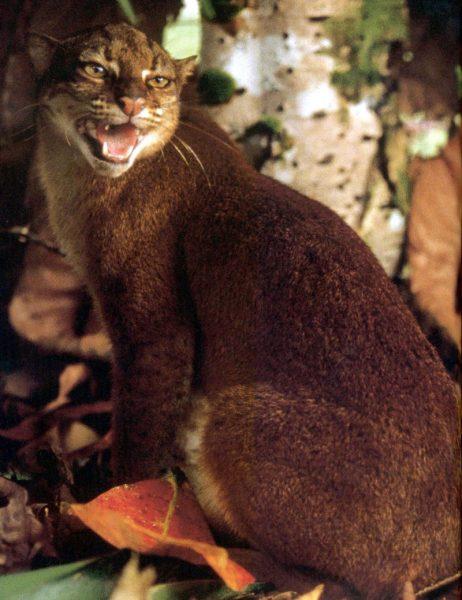 Калимантанская кошка сидит