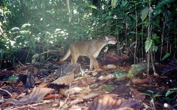 Калимантанская кошка в лесу