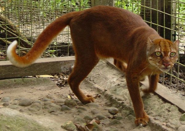 Калимантанская кошка в неволе
