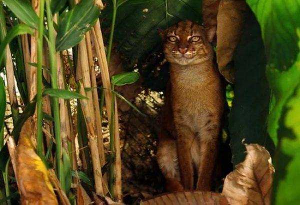 Калимантанская кошка в зарослях