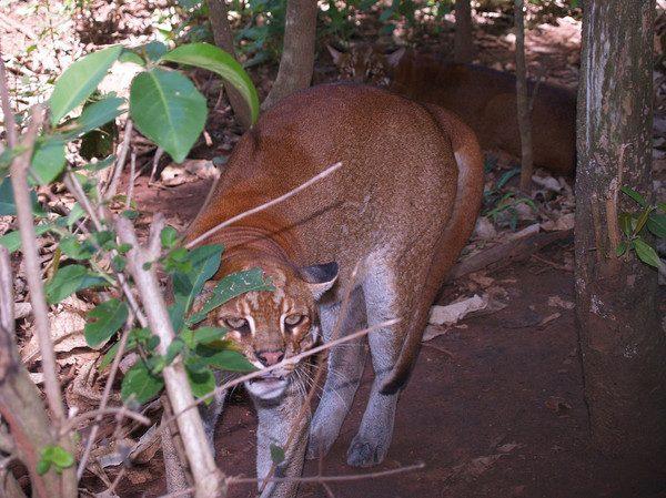 Калимантанская кошка в засаде