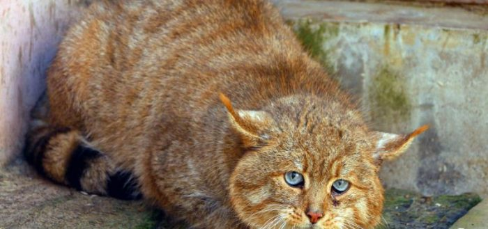Китайская горная кошка