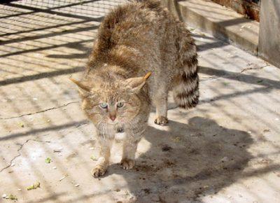 Китайская горная кошка стоит