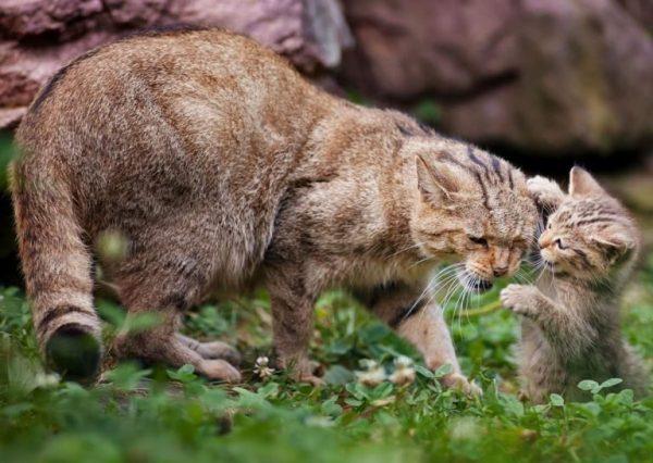 Китайская кошка с котёнком