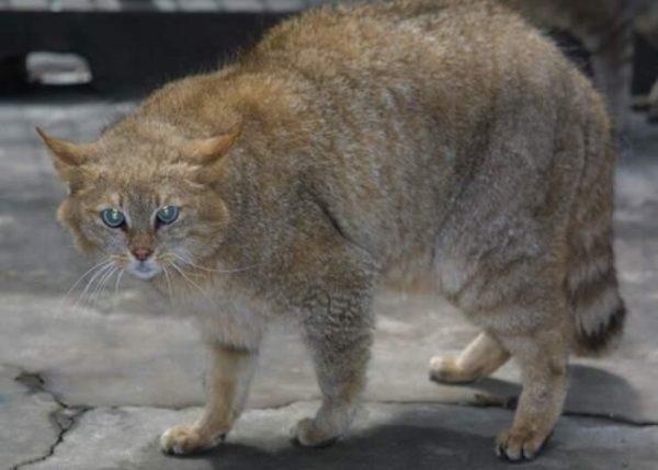 Китайский кот