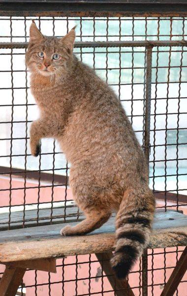Китайский кот в клетке