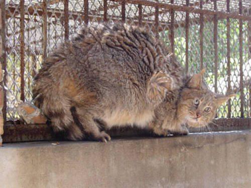 Китайский кот в неволе