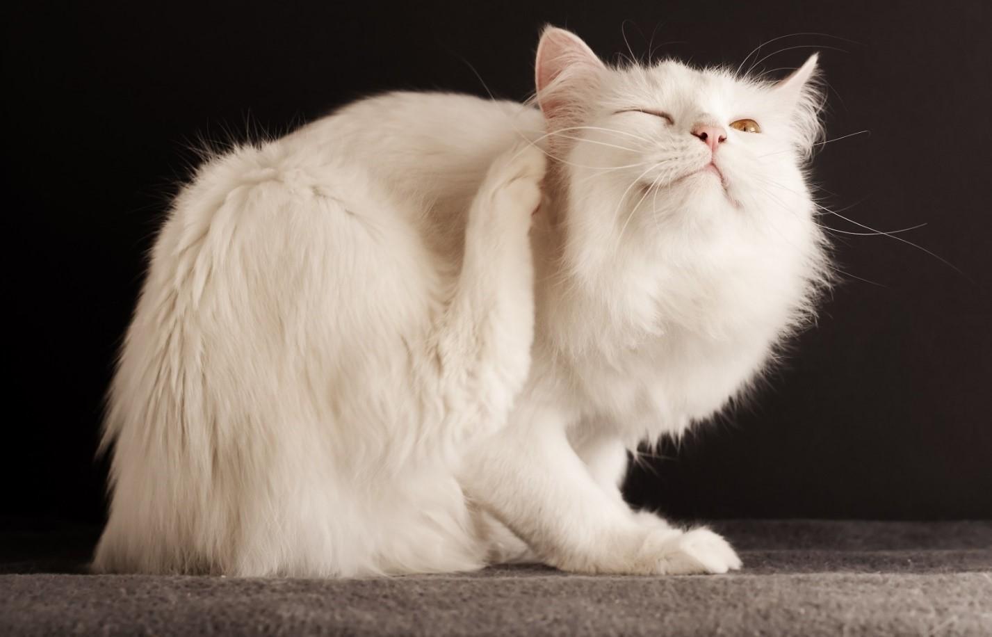 Микроспория у кошек: причины и лечение