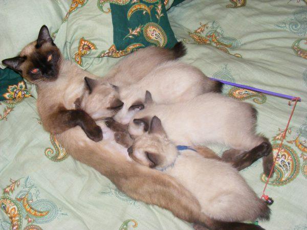 Самка меконгского бобтейла и котята