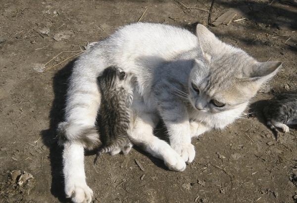 Кошка кормит котёнка