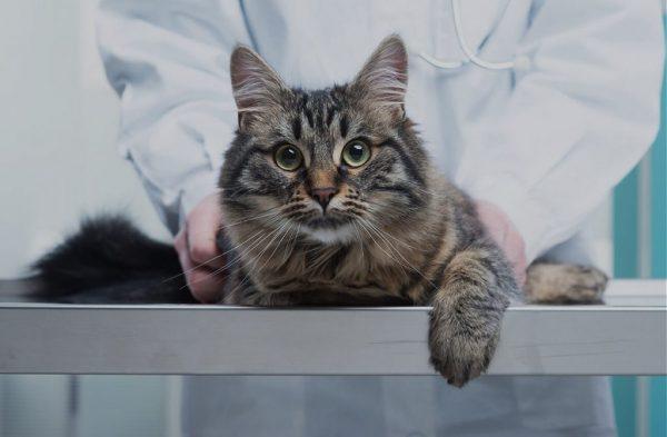 кошка на смотровом столе ветеринара