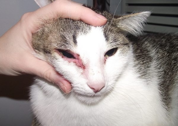 Хламидиоз у кошек: симптомы, профилактика и лечение болезни