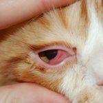 кошка с покрасневшим глазом