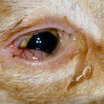 кошка с воспалённым глазом