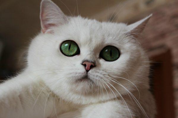 Кошка шиншилла с изумрудными глазами