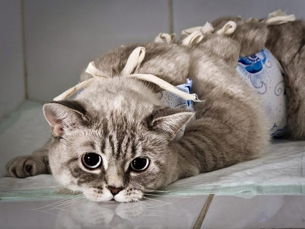 Кошка в бандаже после стерилизации