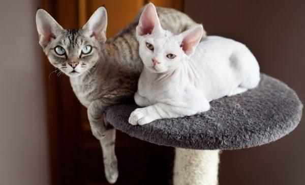 кошки с короткой шерстью