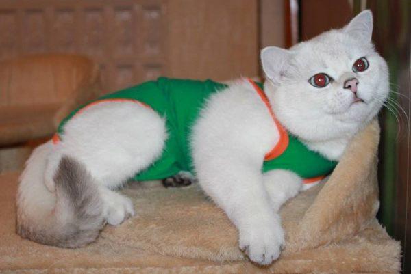 Кот в послеоперационной попонке