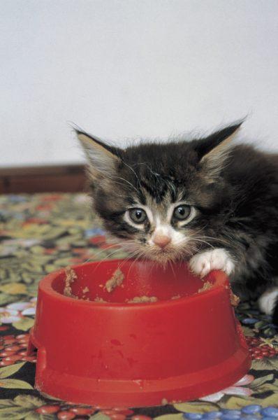 котёнок ест из красной миски