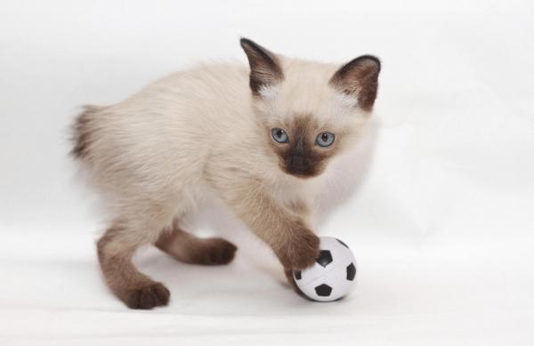 Котёнок меконгского бобтейла с мячиком