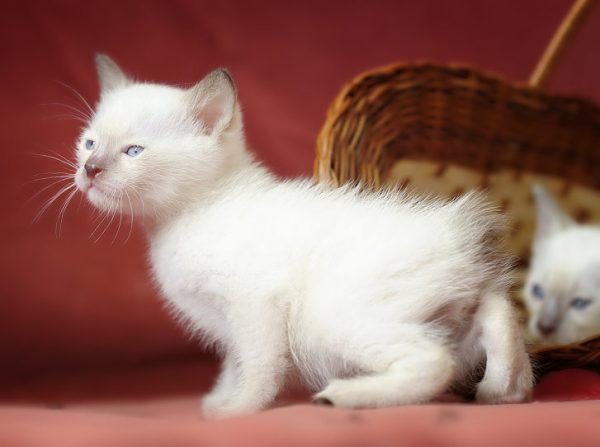 Котёнок шоколад-пойнт