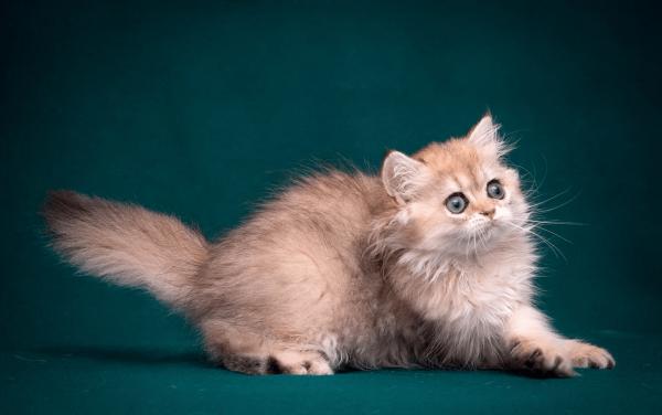 Рыжий котёнок шоу-класса