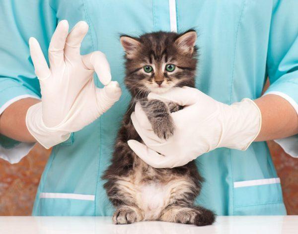котёнок в руках ветеринара