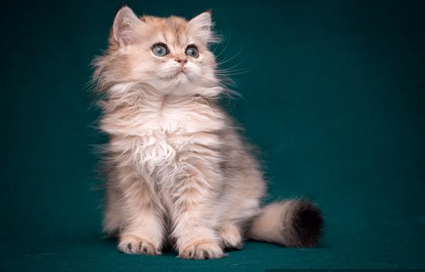 Котик британский длинношёрстный