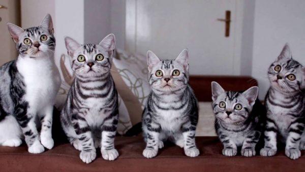 Котята американской короткошёрстной кошки