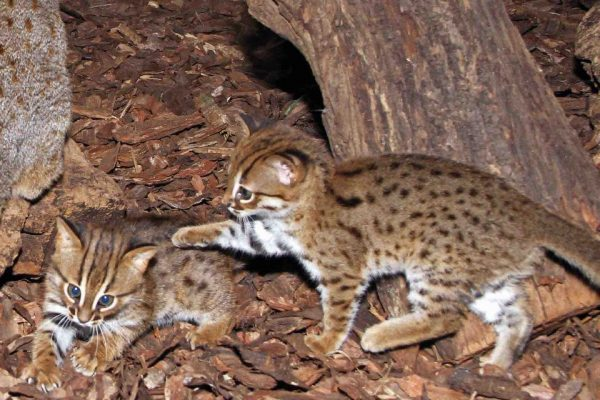 Котята ржавой кошки