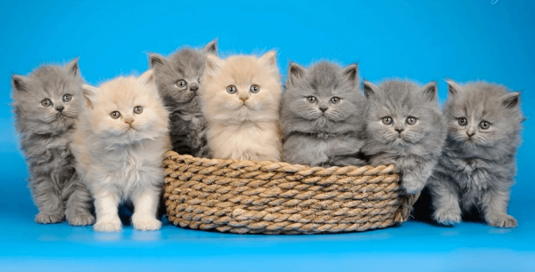 Котятки длинношёрстной британской породы