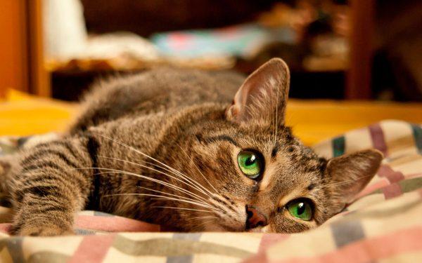 полосатая кошка с зелёными глазами лежит на клетчатом пледе