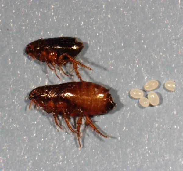 мёртвые блохи и их личинки