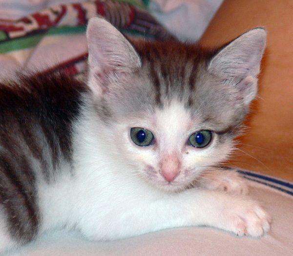 Микроспория у котёнка