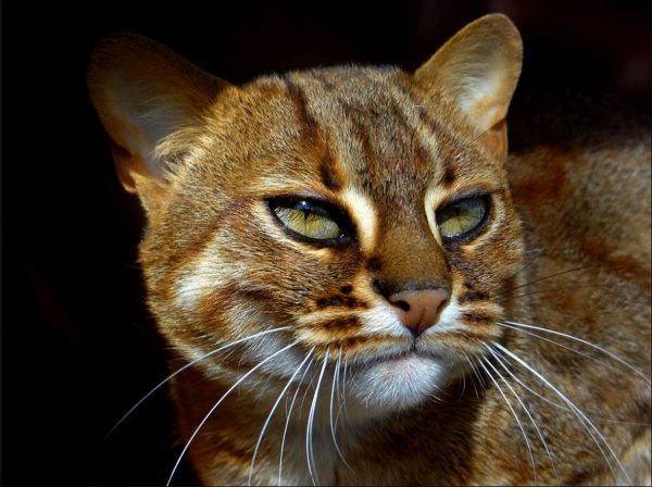 Морда пятнисто-рыжего кота