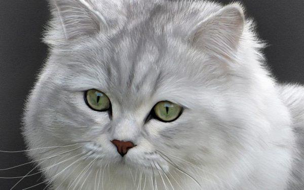 Мордочка длинношёрстной британской кошки