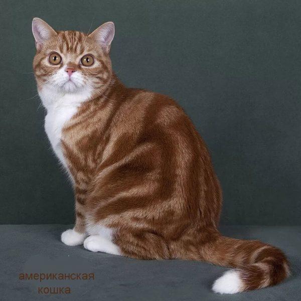 Одна из возможных расцветок американской кошки