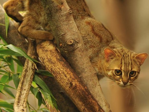 Очень редкая ржавая кошка