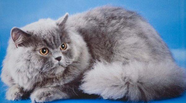 Один из первых британских длинношёрстных котов