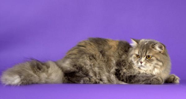 Окрас длинношёрстной британской кошки